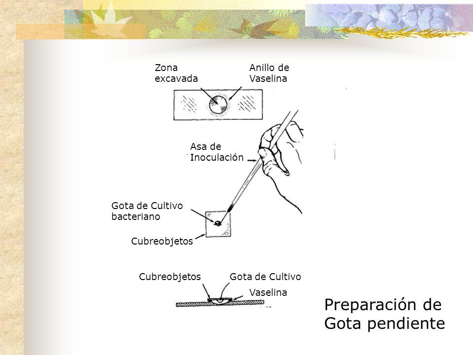 Anillo de Vaselina Zona excavada Asa de Inoculación Gota de Cultivo bacteriano Cubreobjetos Gota de Cultivo Vaselina Preparación de Gota pendiente