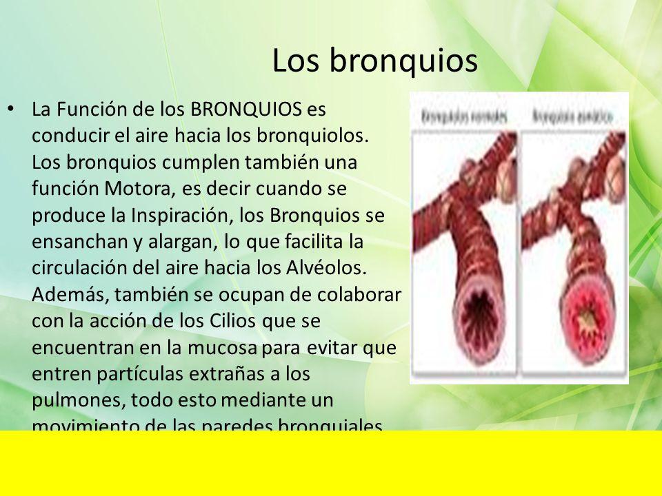 Los bronquios La Función de los BRONQUIOS es conducir el aire hacia los bronquiolos. Los bronquios cumplen también una función Motora, es decir cuando