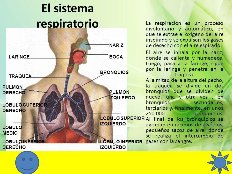 El sistema respiratorio NARIZ BRONQUIOS PULMON IZQUIERDO LÓBULO INFERIOR IZQUIERDO LÓBULO SUPERIOR IZQUIERDO LÓBULO INFERIOR DERECHO LÓBULO MEDIO LÓBU