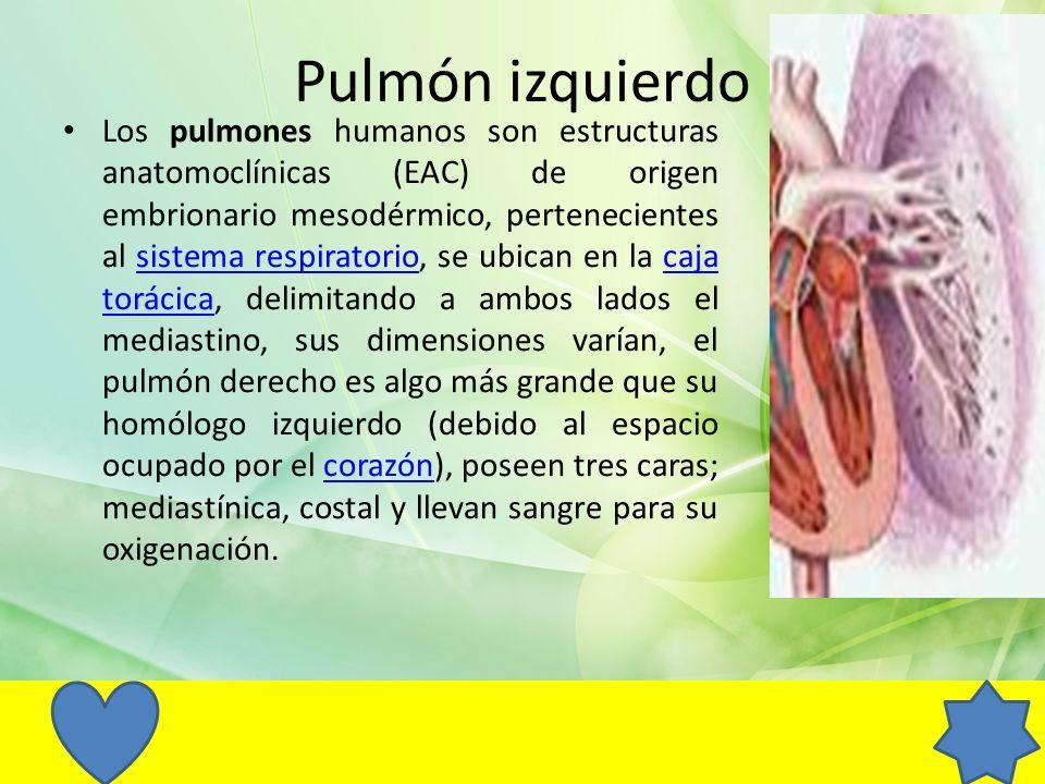 Pulmón izquierdo Los pulmones humanos son estructuras anatomoclínicas (EAC) de origen embrionario mesodérmico, pertenecientes al sistema respiratorio,