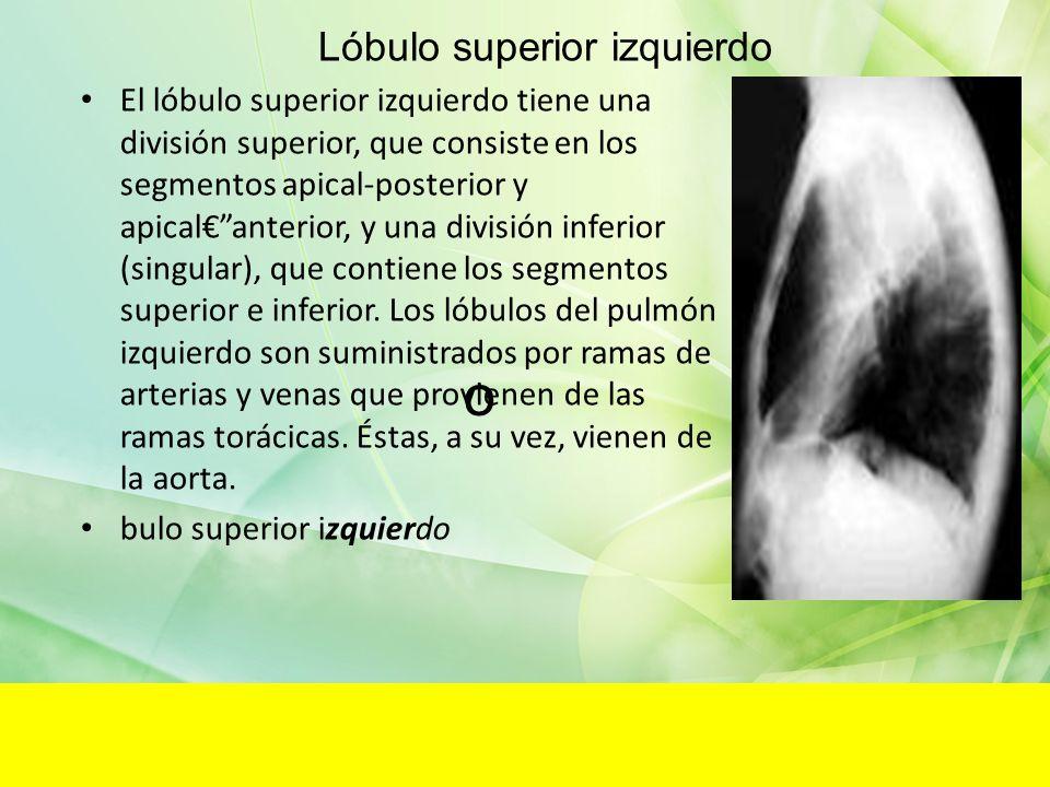 o El lóbulo superior izquierdo tiene una división superior, que consiste en los segmentos apical-posterior y apicalanterior, y una división inferior (