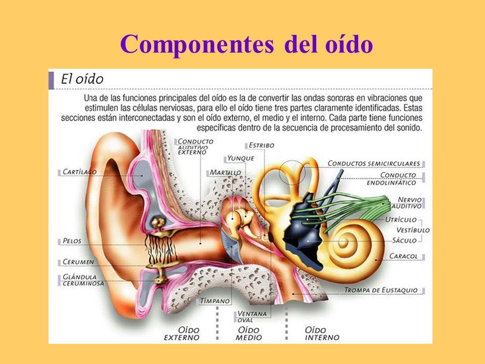 Componentes del oído