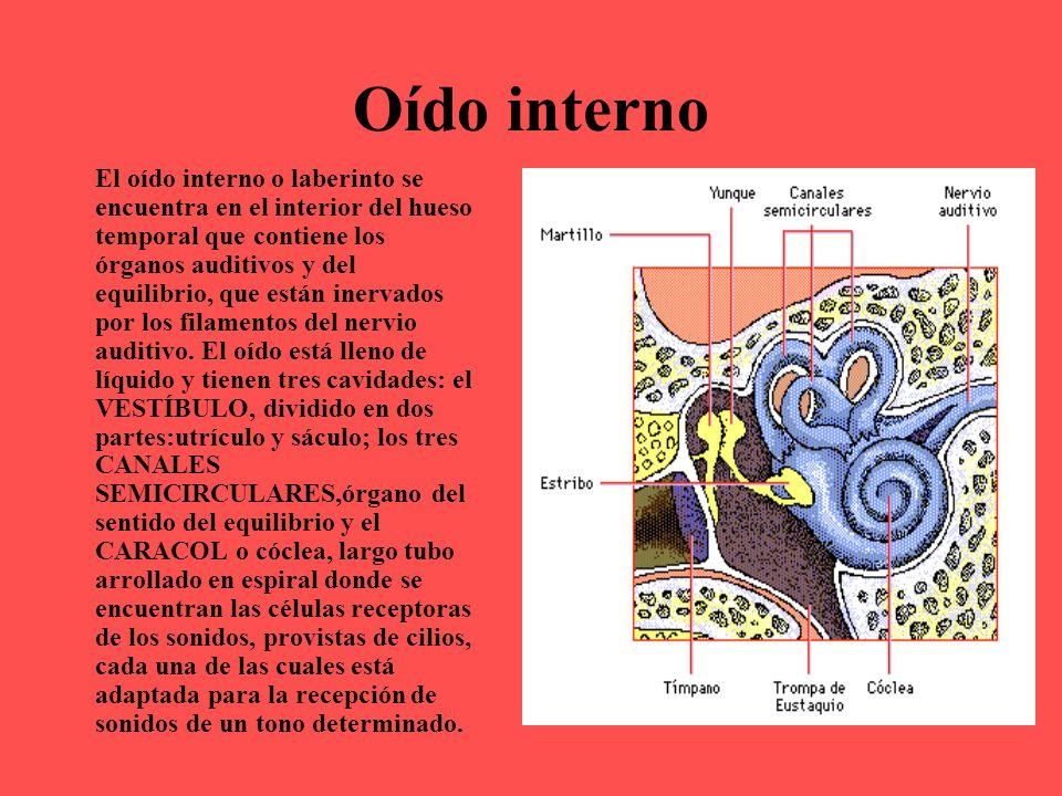 Oído interno El oído interno o laberinto se encuentra en el interior del hueso temporal que contiene los órganos auditivos y del equilibrio, que están