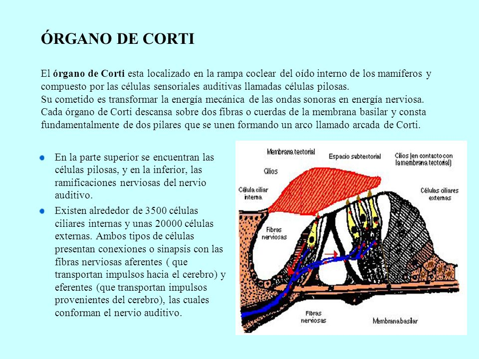 ÓRGANO DE CORTI El órgano de Corti esta localizado en la rampa coclear del oído interno de los mamíferos y compuesto por las células sensoriales audit