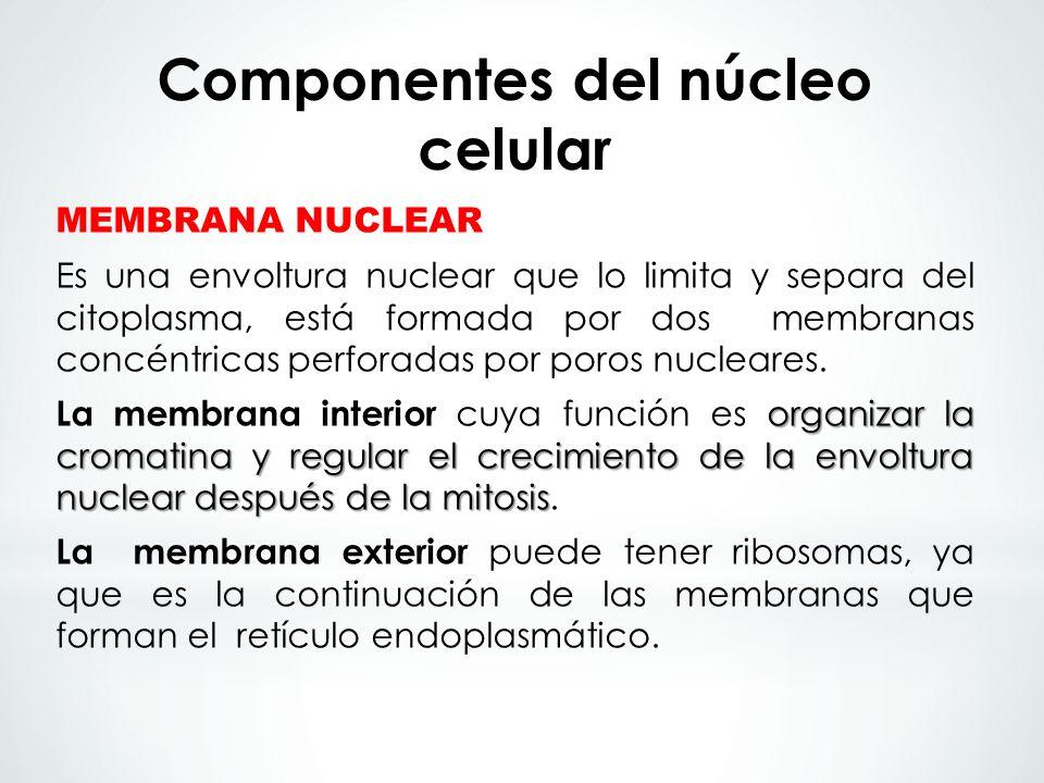 MEMBRANA NUCLEAR Es una envoltura nuclear que lo limita y separa del citoplasma, está formada por dos membranas concéntricas perforadas por poros nucl