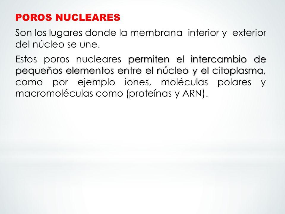 POROS NUCLEARES Son los lugares donde la membrana interior y exterior del núcleo se une. permiten el intercambio de pequeños elementos entre el núcleo