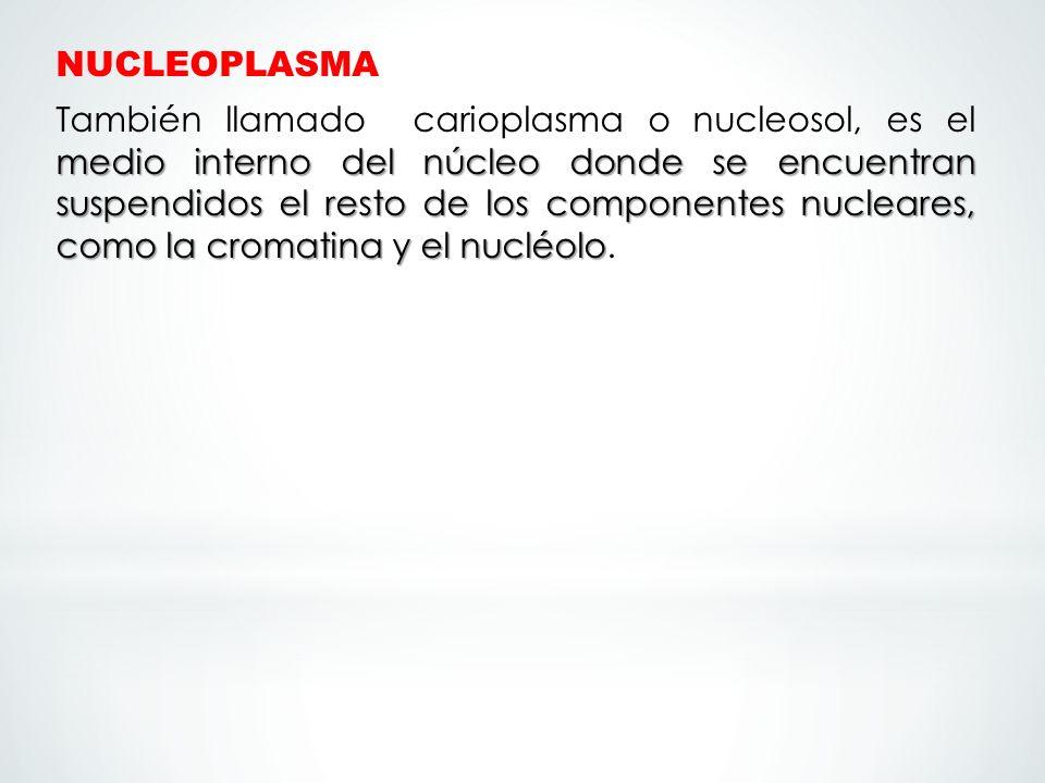 NUCLEOPLASMA medio interno del núcleo donde se encuentran suspendidos el resto de los componentes nucleares, como la cromatina y el nucléolo También l