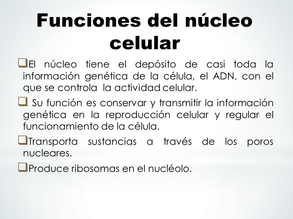 Funciones del núcleo celular El núcleo tiene el depósito de casi toda la información genética de la célula, el ADN, con el que se controla la activida