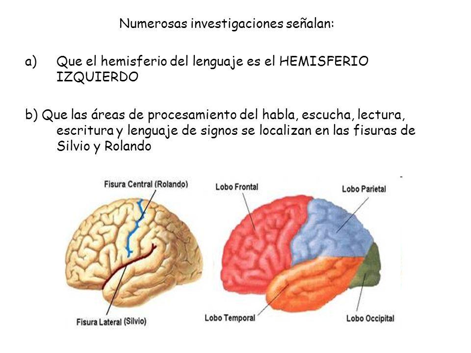 Numerosas investigaciones señalan: a)Que el hemisferio del lenguaje es el HEMISFERIO IZQUIERDO b) Que las áreas de procesamiento del habla, escucha, l