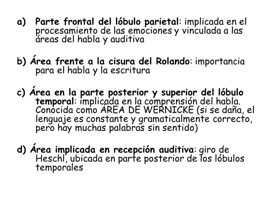 a)Parte frontal del lóbulo parietal: implicada en el procesamiento de las emociones y vinculada a las áreas del habla y auditiva b) Área frente a la c