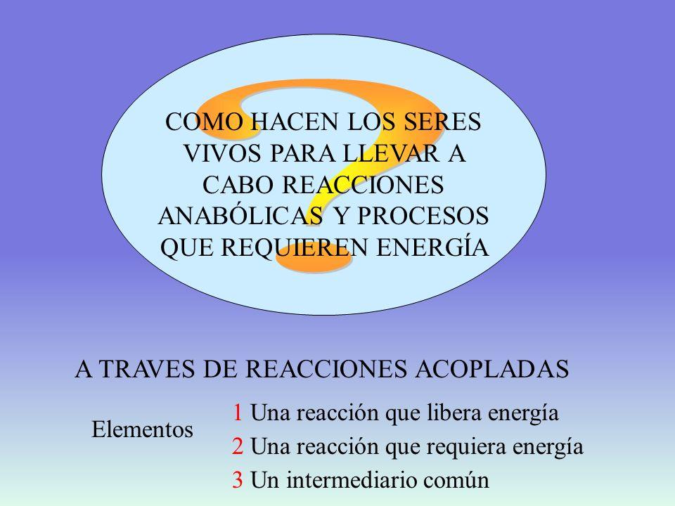 REACCIONES ACOPLADAS REACCIONES EXERGÓNICAS (Liberan energía libre) REACCIONES ENDERGÓNICAS (Requieren energía libre) ATP TRANSPORTADOR DE ENERGíA DESDE LOS PROCESOS CELULARES PRODUCTORES DE ENERGíA A LOS PROCESOS QUE REQUIEREN ENERGÍA