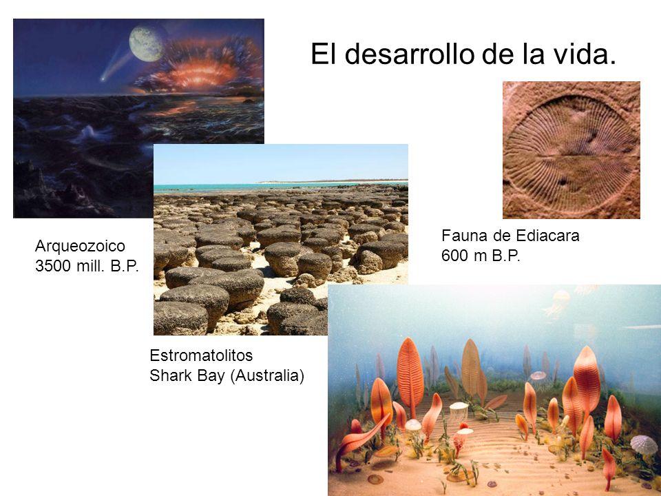 El desarrollo de la vida. Arqueozoico 3500 mill. B.P. Estromatolitos Shark Bay (Australia) Fauna de Ediacara 600 m B.P.