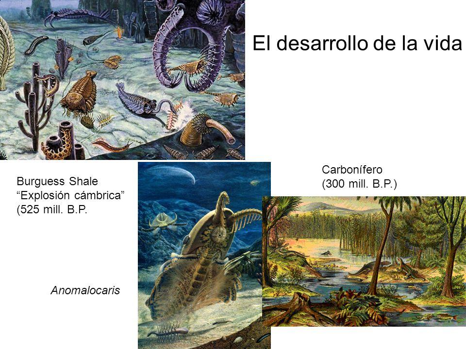 Burguess Shale Explosión cámbrica (525 mill. B.P. Anomalocaris Carbonífero (300 mill. B.P.) El desarrollo de la vida