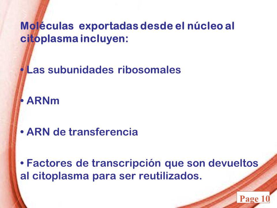 Powerpoint Templates Page 10 Moléculas exportadas desde el núcleo al citoplasma incluyen: Las subunidades ribosomales ARNm ARN de transferencia Factor