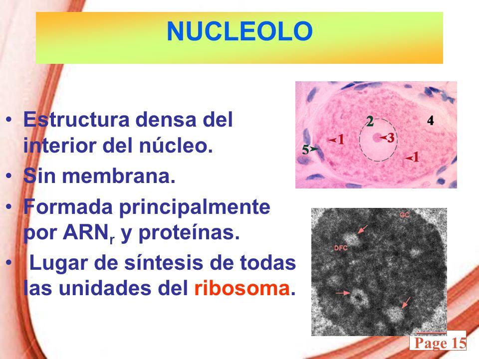 Powerpoint Templates Page 15 NUCLEOLO Estructura densa del interior del núcleo. Sin membrana. Formada principalmente por ARN r y proteínas. Lugar de s