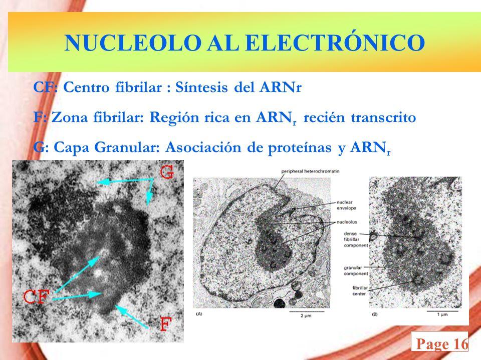 Powerpoint Templates Page 16 CF: Centro fibrilar : Síntesis del ARNr F: Zona fibrilar: Región rica en ARN r recién transcrito G: Capa Granular: Asocia