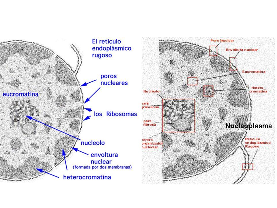 Nucleoplasma