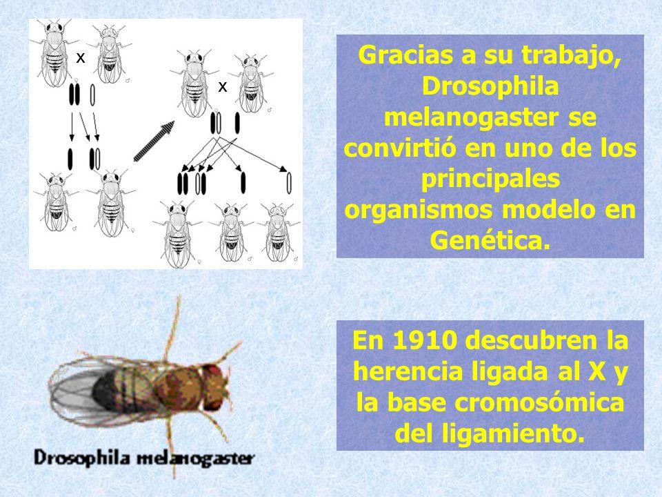 Gracias a su trabajo, Drosophila melanogaster se convirtió en uno de los principales organismos modelo en Genética. En 1910 descubren la herencia liga