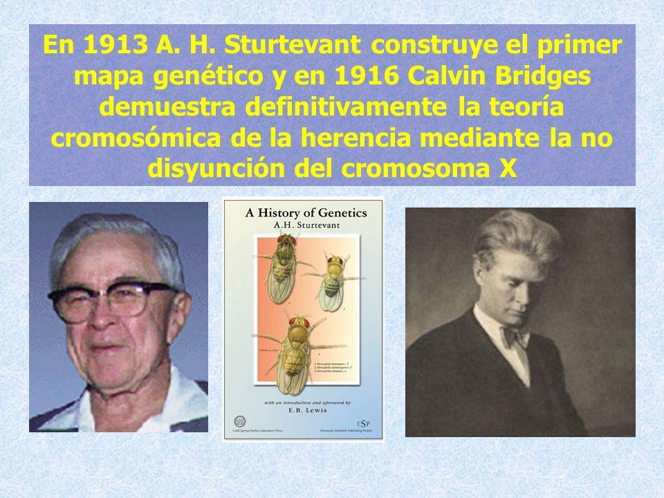 En 1913 A. H. Sturtevant construye el primer mapa genético y en 1916 Calvin Bridges demuestra definitivamente la teoría cromosómica de la herencia med