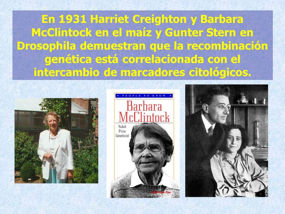 En 1931 Harriet Creighton y Barbara McClintock en el maíz y Gunter Stern en Drosophila demuestran que la recombinación genética está correlacionada co