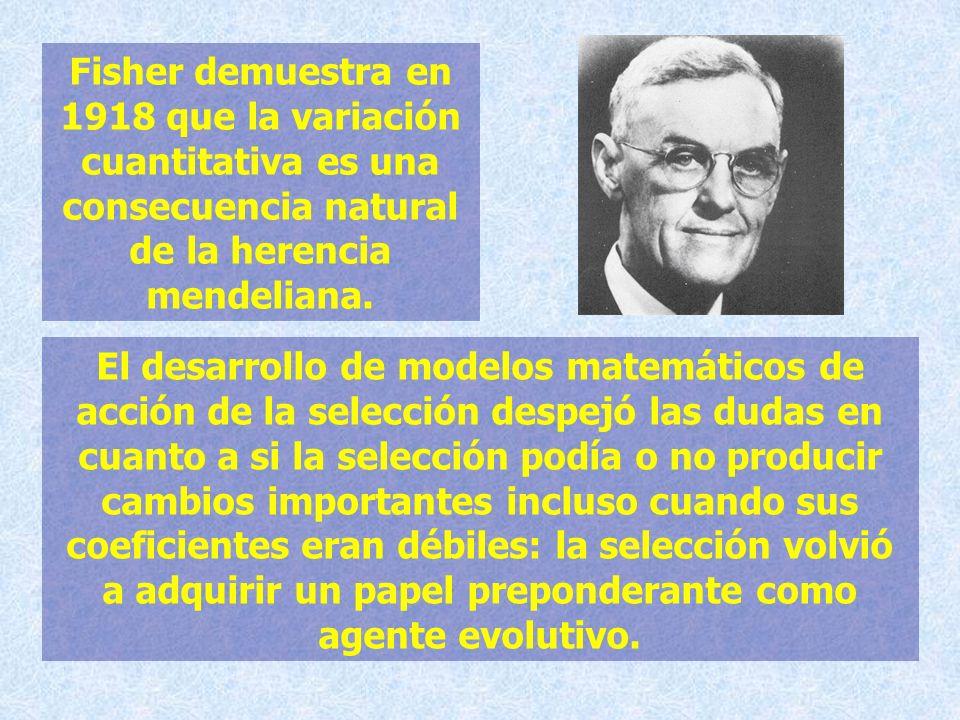 Fisher demuestra en 1918 que la variación cuantitativa es una consecuencia natural de la herencia mendeliana. El desarrollo de modelos matemáticos de