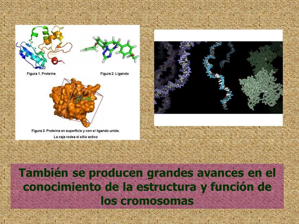 También se producen grandes avances en el conocimiento de la estructura y función de los cromosomas