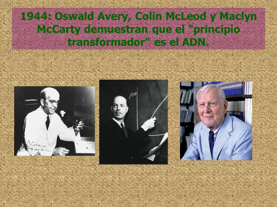 1944: Oswald Avery, Colin McLeod y Maclyn McCarty demuestran que el