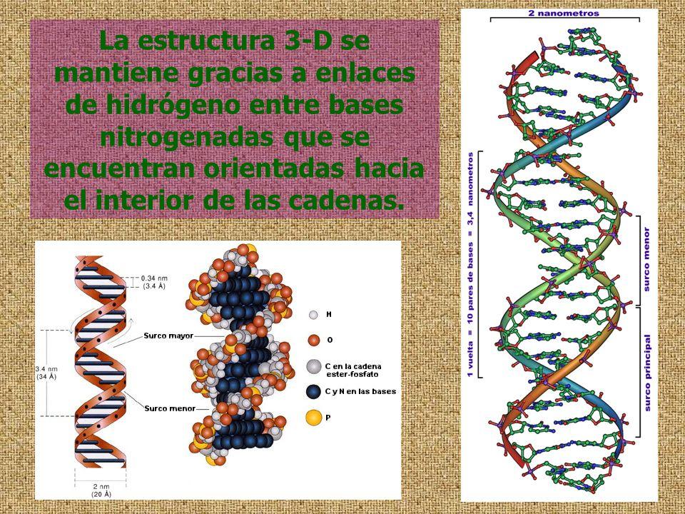 La estructura 3-D se mantiene gracias a enlaces de hidrógeno entre bases nitrogenadas que se encuentran orientadas hacia el interior de las cadenas.