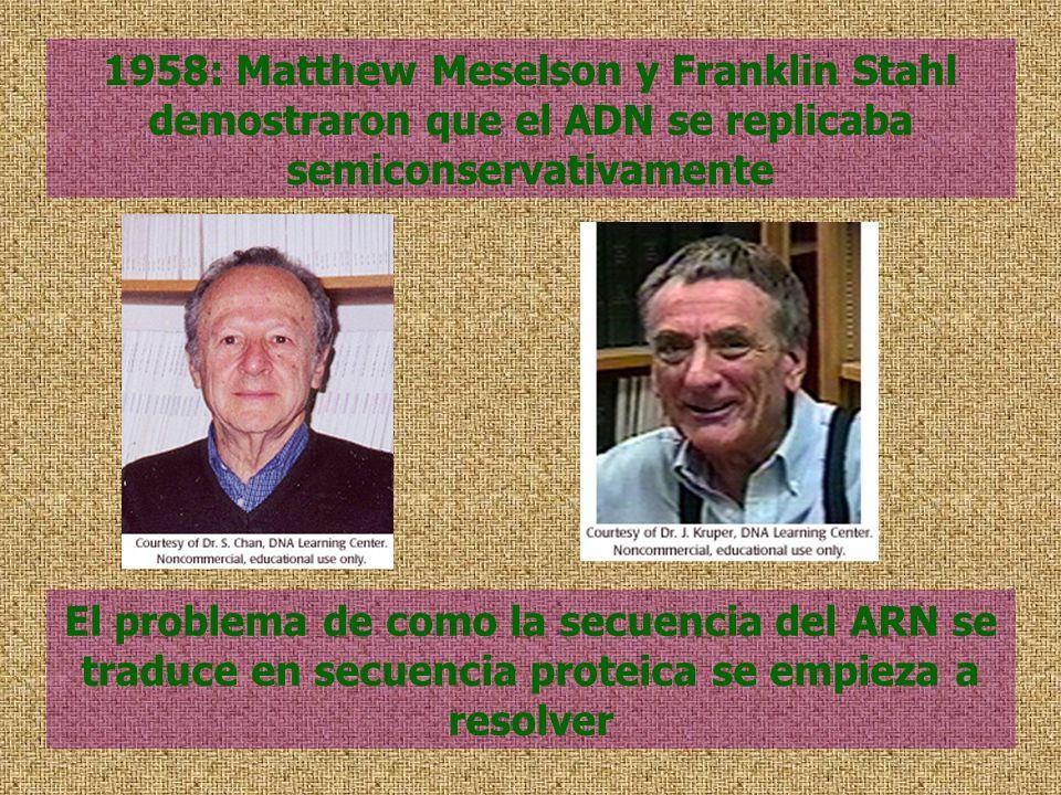 1958: Matthew Meselson y Franklin Stahl demostraron que el ADN se replicaba semiconservativamente El problema de como la secuencia del ARN se traduce