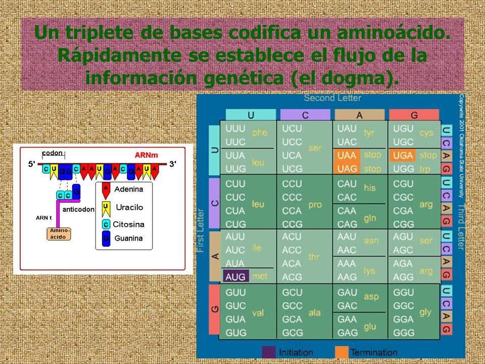 Un triplete de bases codifica un aminoácido. Rápidamente se establece el flujo de la información genética (el dogma).