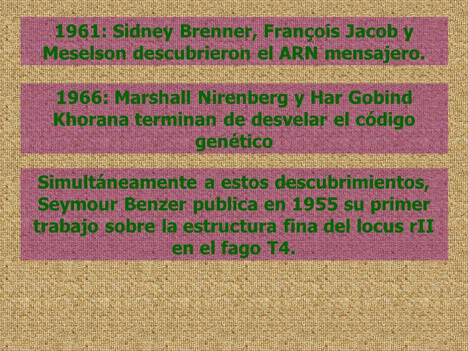 1961: Sidney Brenner, François Jacob y Meselson descubrieron el ARN mensajero. 1966: Marshall Nirenberg y Har Gobind Khorana terminan de desvelar el c