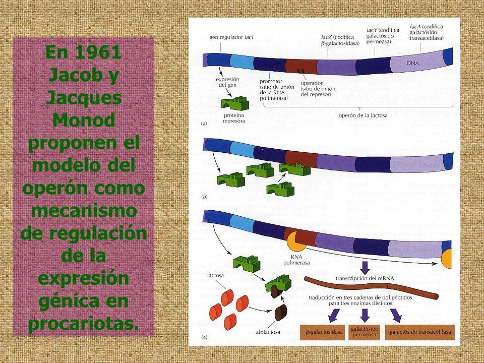 En 1961 Jacob y Jacques Monod proponen el modelo del operón como mecanismo de regulación de la expresión génica en procariotas.