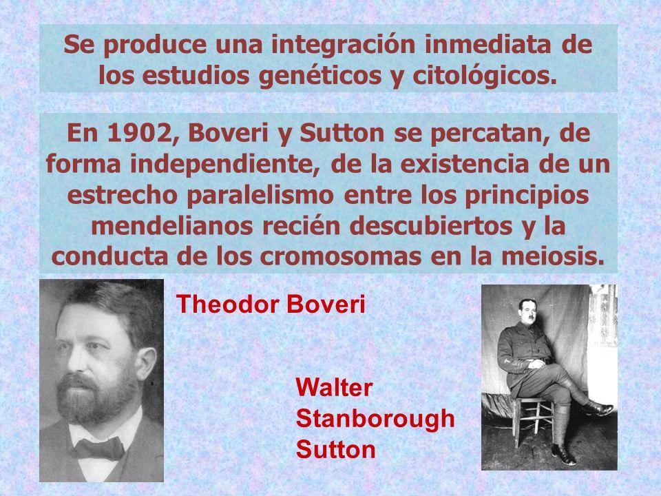 Se produce una integración inmediata de los estudios genéticos y citológicos. En 1902, Boveri y Sutton se percatan, de forma independiente, de la exis