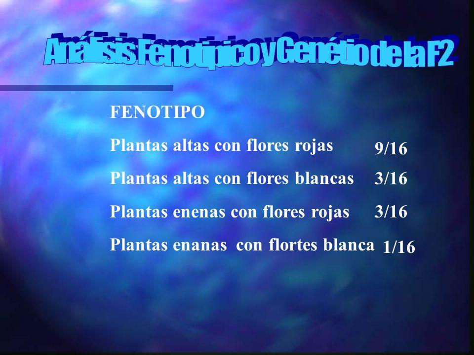FENOTIPO Plantas altas con flores rojas Plantas altas con flores blancas Plantas enenas con flores rojas Plantas enanas con flortes blanca 9/16 3/16 1