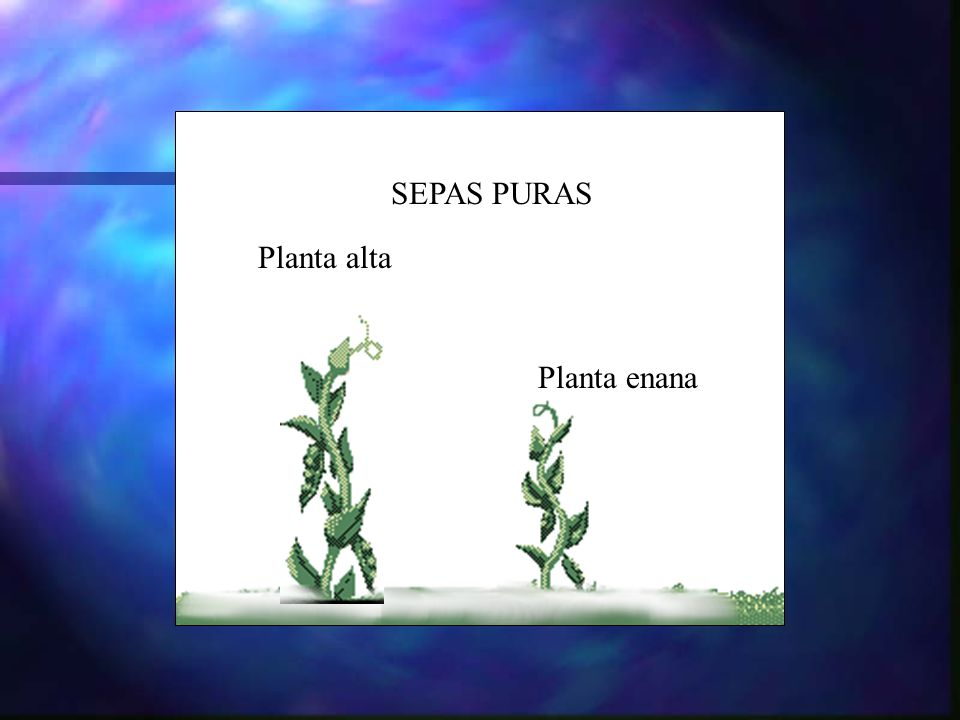Planta alta Planta enana SEPAS PURAS