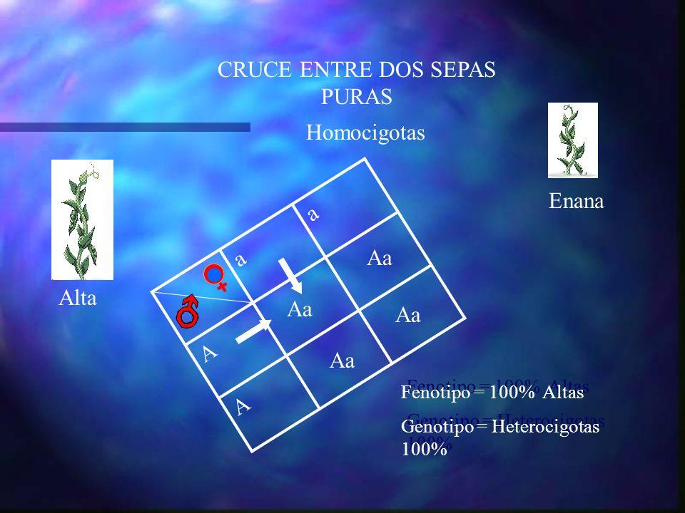 aa A A Aa CRUCE ENTRE DOS SEPAS PURAS Alta Enana Fenotipo = 100% Altas Genotipo = Heterocigotas 100% Fenotipo = 100% Altas Genotipo = Heterocigotas 10