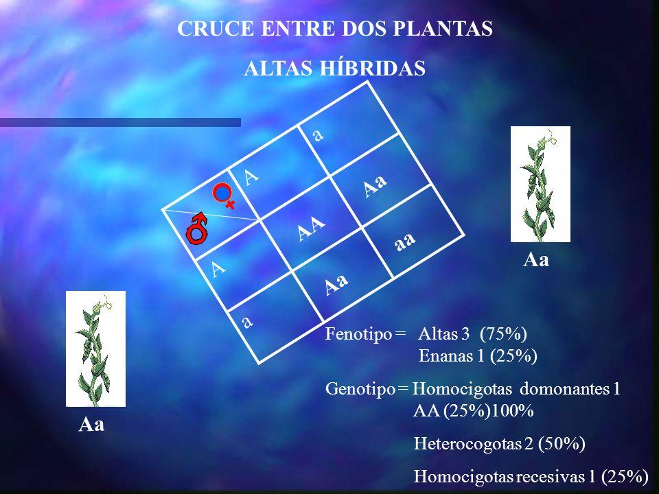 CRUCE ENTRE DOS PLANTAS ALTAS HÍBRIDAS Aa a A Aa AA Aa aa Fenotipo = Altas 3 (75%) Enanas 1 (25%) Genotipo = Homocigotas domonantes 1 AA (25%)100% Het