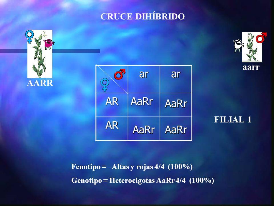 CRUCE DIHÍBRIDO arar ARAaRr AR AaRr AaRr AaRr aarr AARR Fenotipo = Altas y rojas 4/4 (100%) Genotipo = Heterocigotas AaRr 4/4 (100%) FILIAL 1
