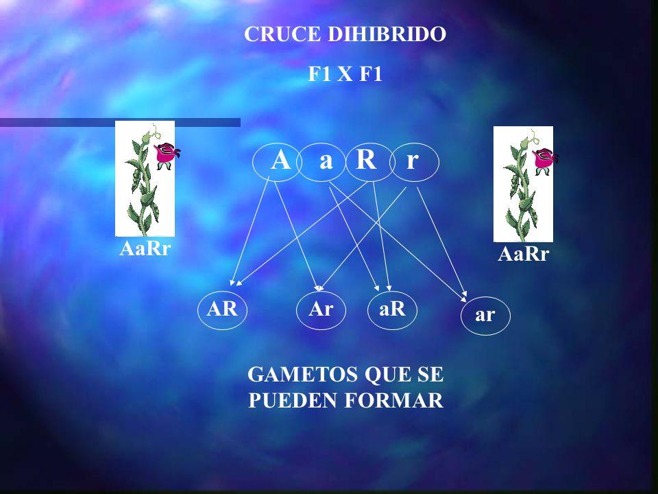 CRUCE DIHIBRIDO F1 X F1 AaRr ARAraR ar GAMETOS QUE SE PUEDEN FORMAR