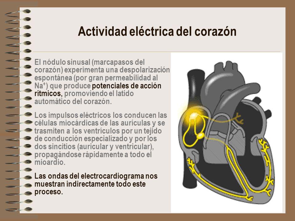 Actividad eléctrica del corazón El nódulo sinusal (marcapasos del corazón) experimenta una despolarización espontánea (por gran permeabilidad al Na +
