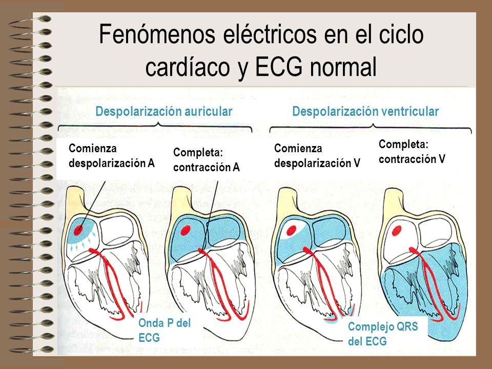 Despolarización auricularDespolarización ventricular Fenómenos eléctricos en el ciclo cardíaco y ECG normal Comienza despolarización A Completa: contr