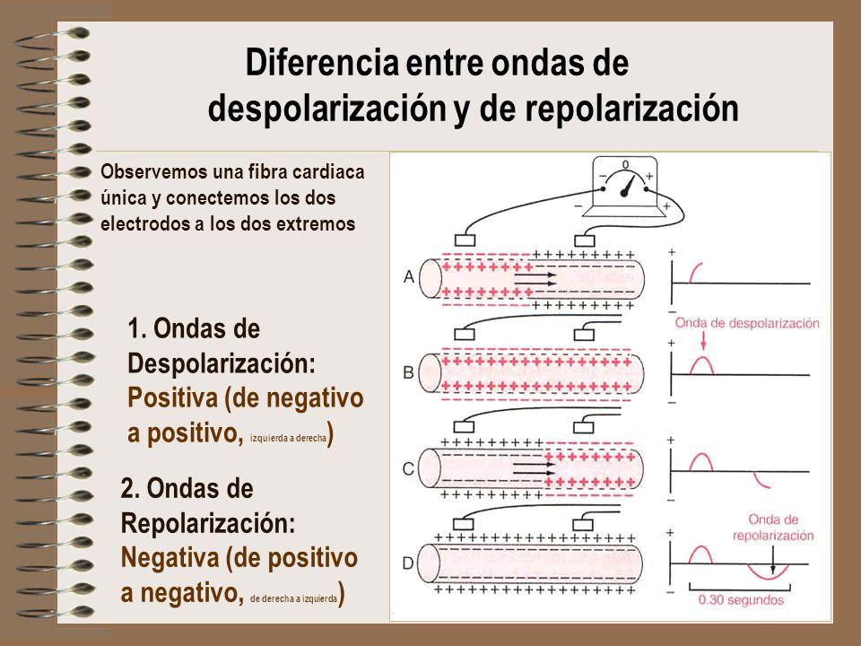 Diferencia entre ondas de despolarización y de repolarización 1. Ondas de Despolarización: Positiva (de negativo a positivo, izquierda a derecha ) Obs