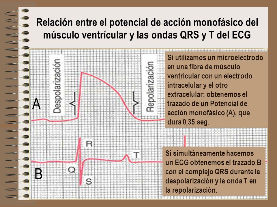 Relación entre el potencial de acción monofásico del músculo ventrícular y las ondas QRS y T del ECG Si utilizamos un microelectrodo en una fibra de m