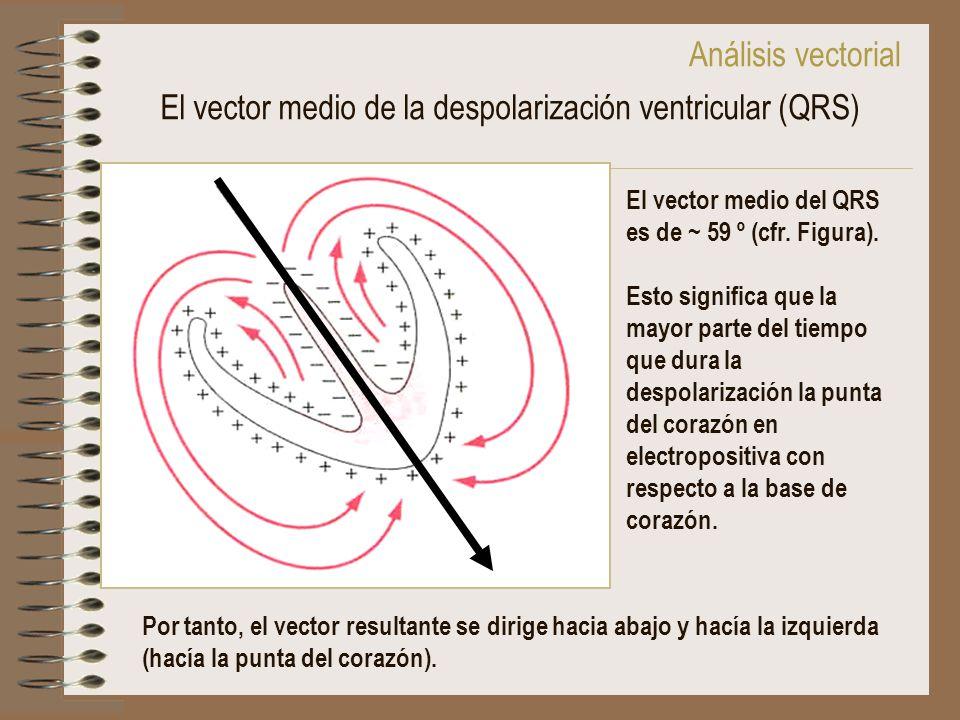 El vector medio de la despolarización ventricular (QRS) El vector medio del QRS es de ~ 59 º (cfr. Figura). Esto significa que la mayor parte del tiem