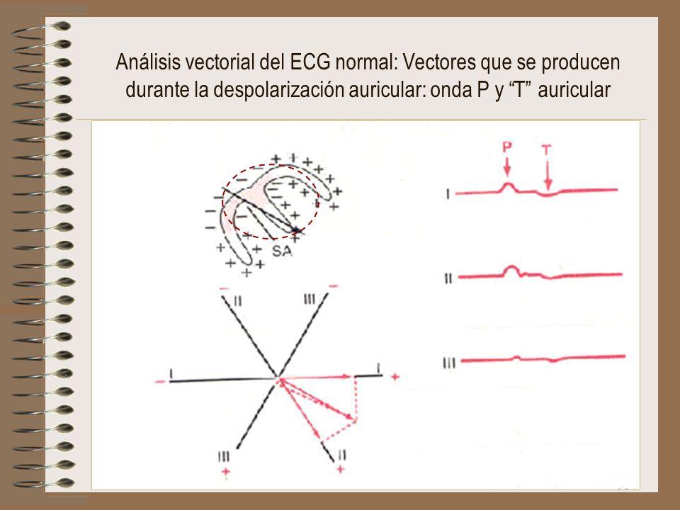 Análisis vectorial del ECG normal: Vectores que se producen durante la despolarización auricular: onda P y T auricular