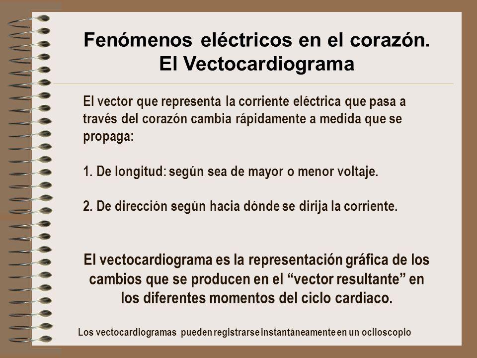 El vector que representa la corriente eléctrica que pasa a través del corazón cambia rápidamente a medida que se propaga: 1. De longitud: según sea de