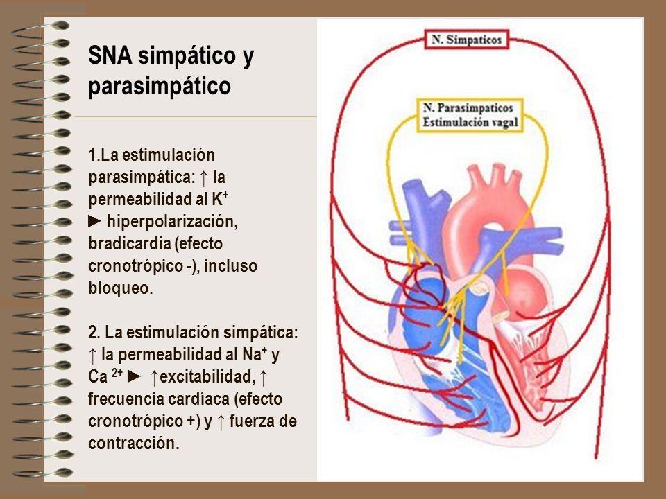 1.La estimulación parasimpática: la permeabilidad al K + hiperpolarización, bradicardia (efecto cronotrópico -), incluso bloqueo. 2. La estimulación s