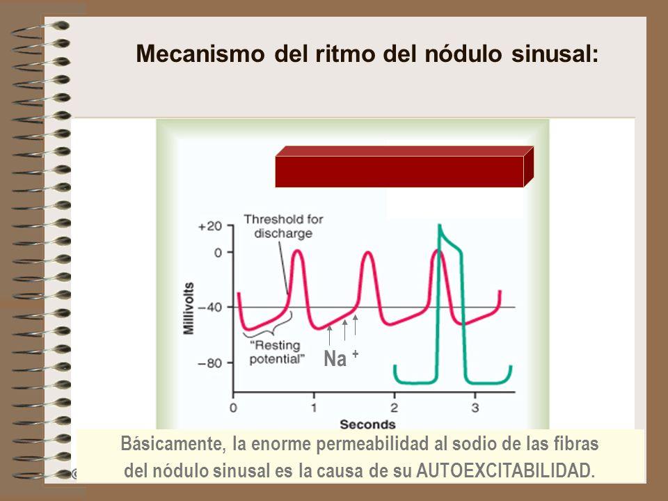 Mecanismo del ritmo del nódulo sinusal: Básicamente, la enorme permeabilidad al sodio de las fibras del nódulo sinusal es la causa de su AUTOEXCITABIL