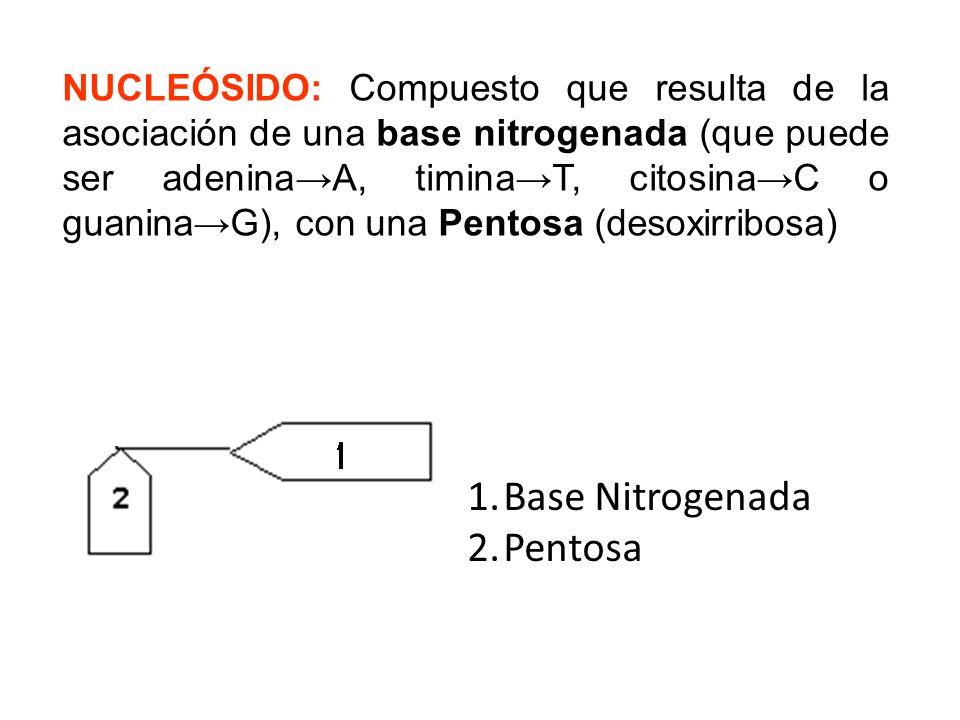 NUCLEÓSIDO: Compuesto que resulta de la asociación de una base nitrogenada (que puede ser adeninaA, timinaT, citosinaC o guaninaG), con una Pentosa (d