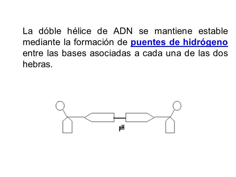 La dóble hélice de ADN se mantiene estable mediante la formación de puentes de hidrógeno entre las bases asociadas a cada una de las dos hebras.puente